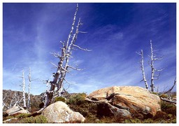 Dead_Pencil_Pines-Tarn_Shelf