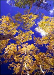 looking-up-aspens-a