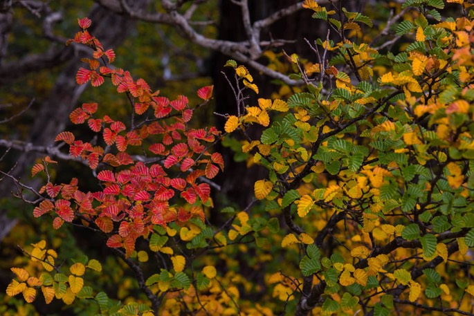 Red Fagus Cradle Mt NP